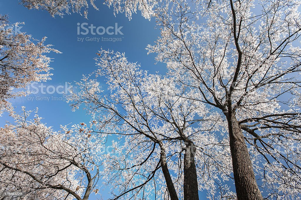 Snow and frost covered locust trees royalty-free stock photo