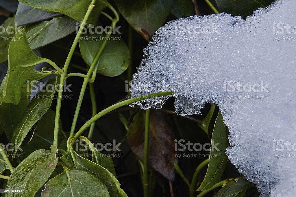 Snow and the plant royalty-free stock photo