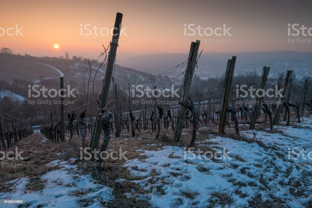 Snow and vinest with wooden stakes in a vineyard stock photo