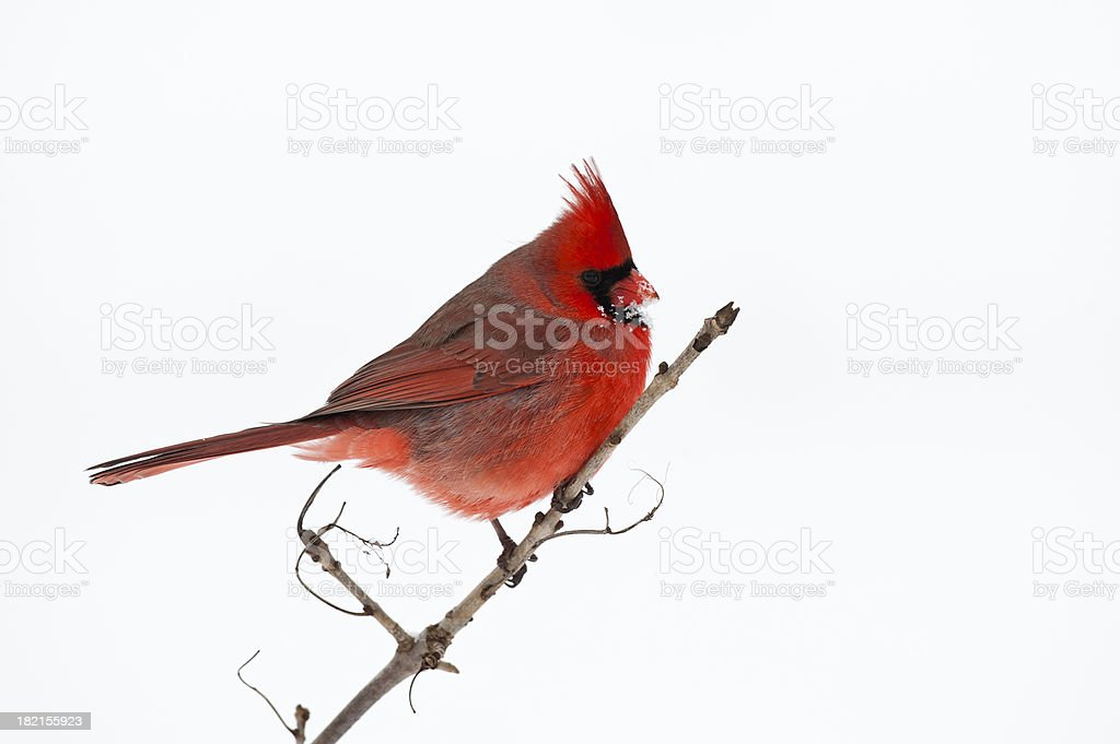 Snow Beak Cardinal stock photo