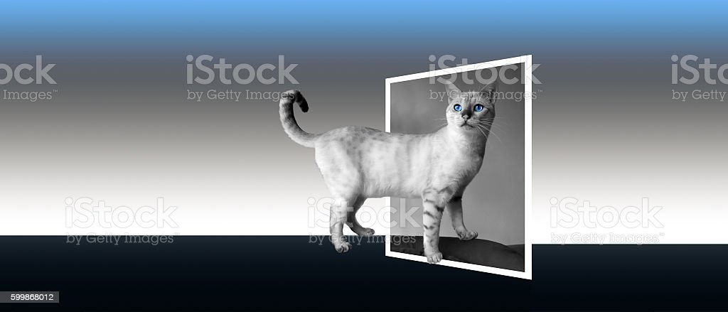 Snow bengal black and white. Banner format, 3d pop-out postcard stock photo