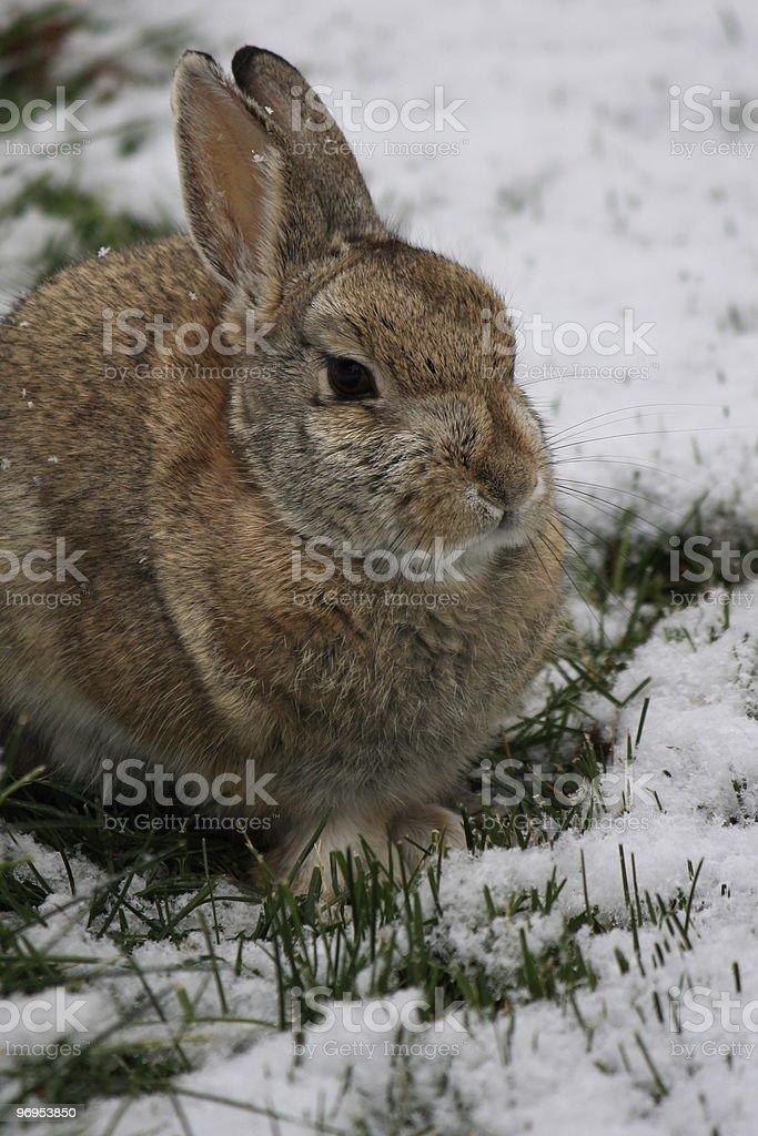 Snow Bunny stock photo