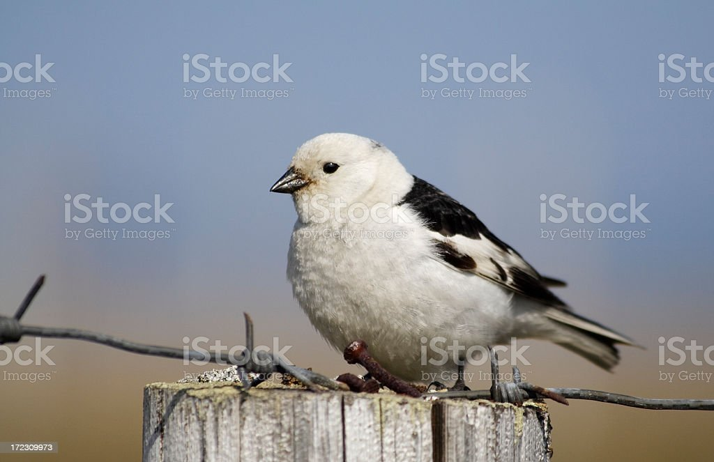 Snow bunting sits on the column. stock photo