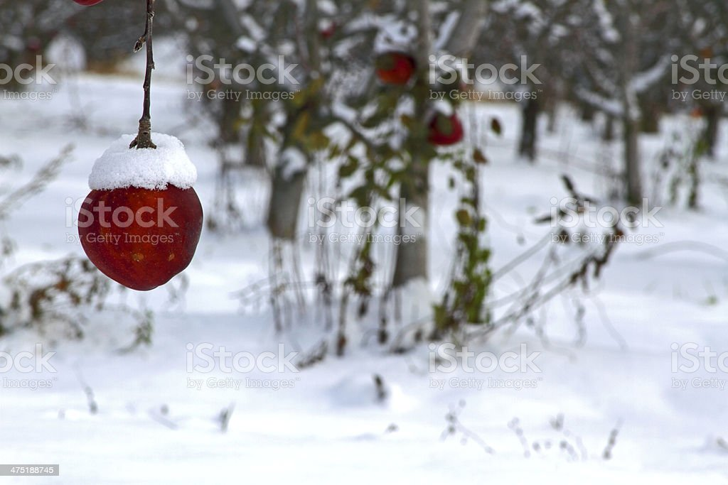 Snow capped apple royalty-free stock photo