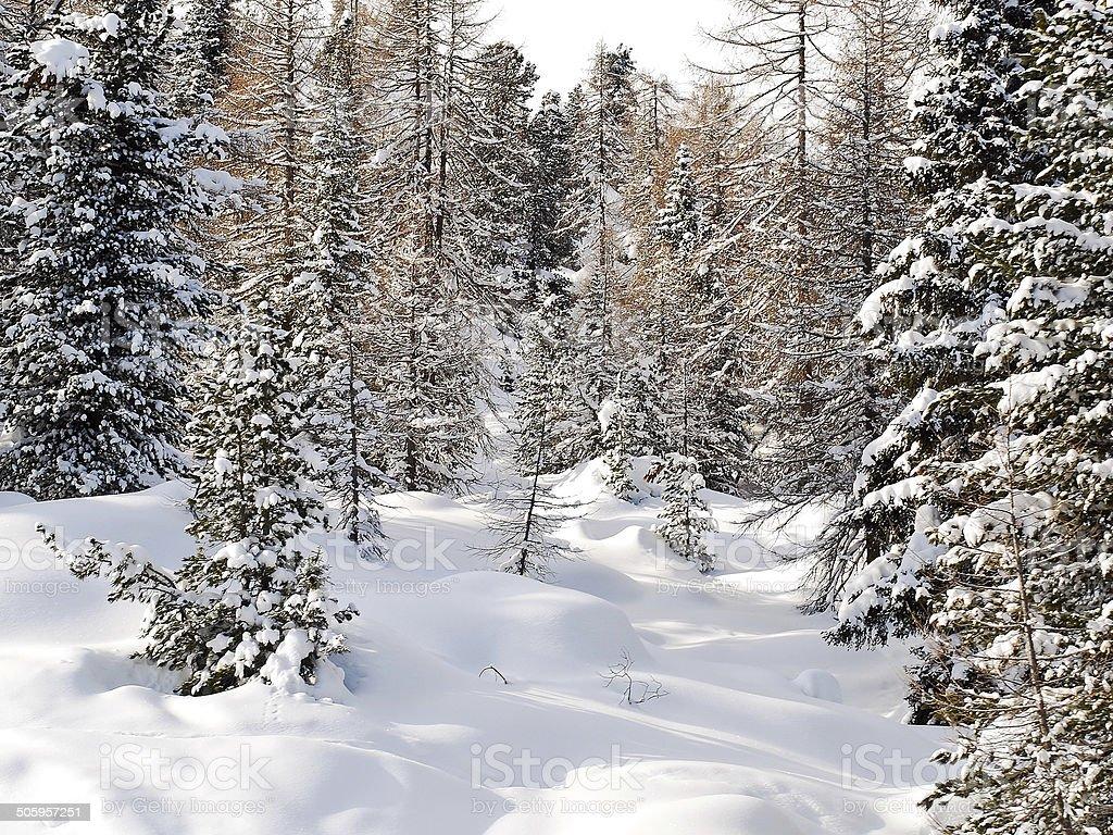 snow coniferous wood in Dolomites, Italy stock photo