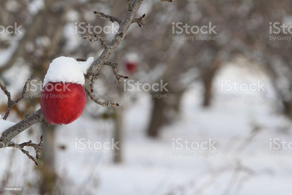 Snow covered apple stock photo