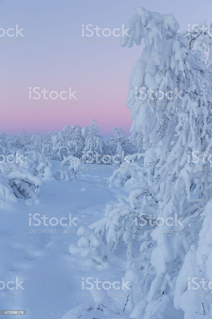 snow covered arctic trees in winter sunrise stock photo