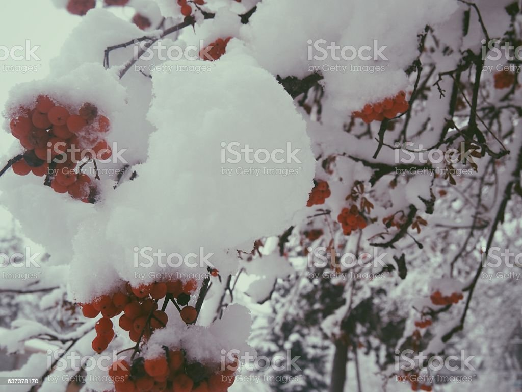 Snow Covered Berries stock photo