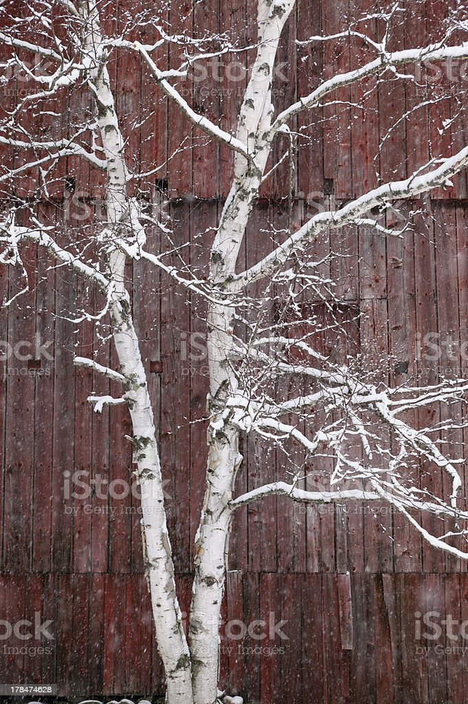 Snow covered birch tree and a red barn. royalty-free stock photo