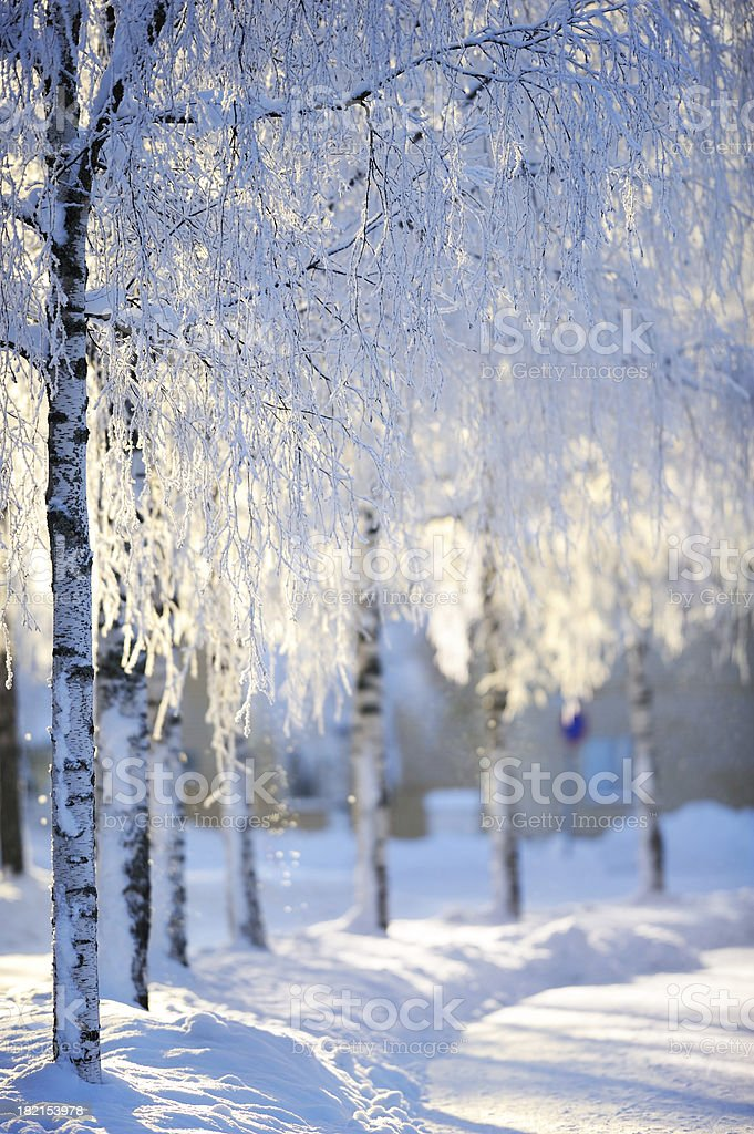 Snow covered birch trees royalty-free stock photo