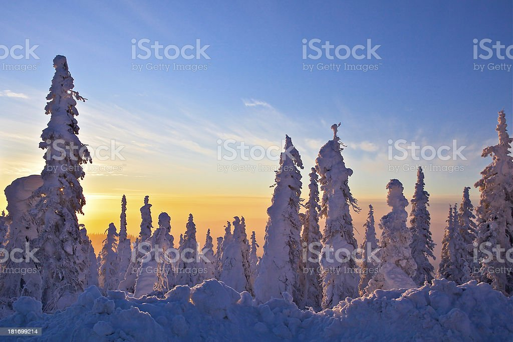 Snow Covered Black Spruce at Sunrise royalty-free stock photo