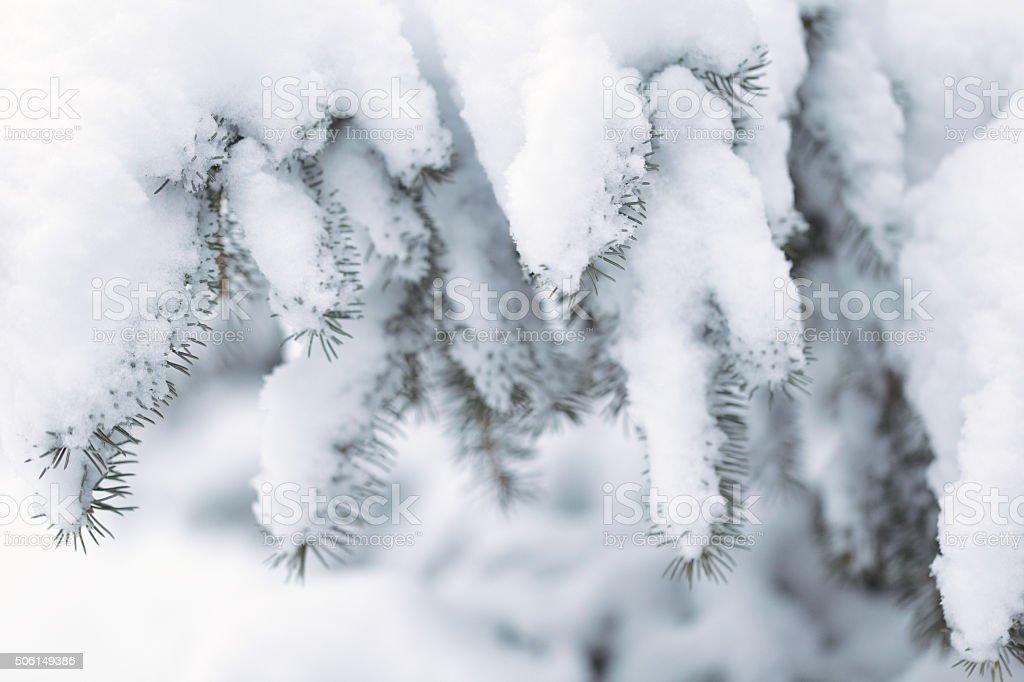 Snow Covered Blue Spruce - Minnesota Winter stock photo