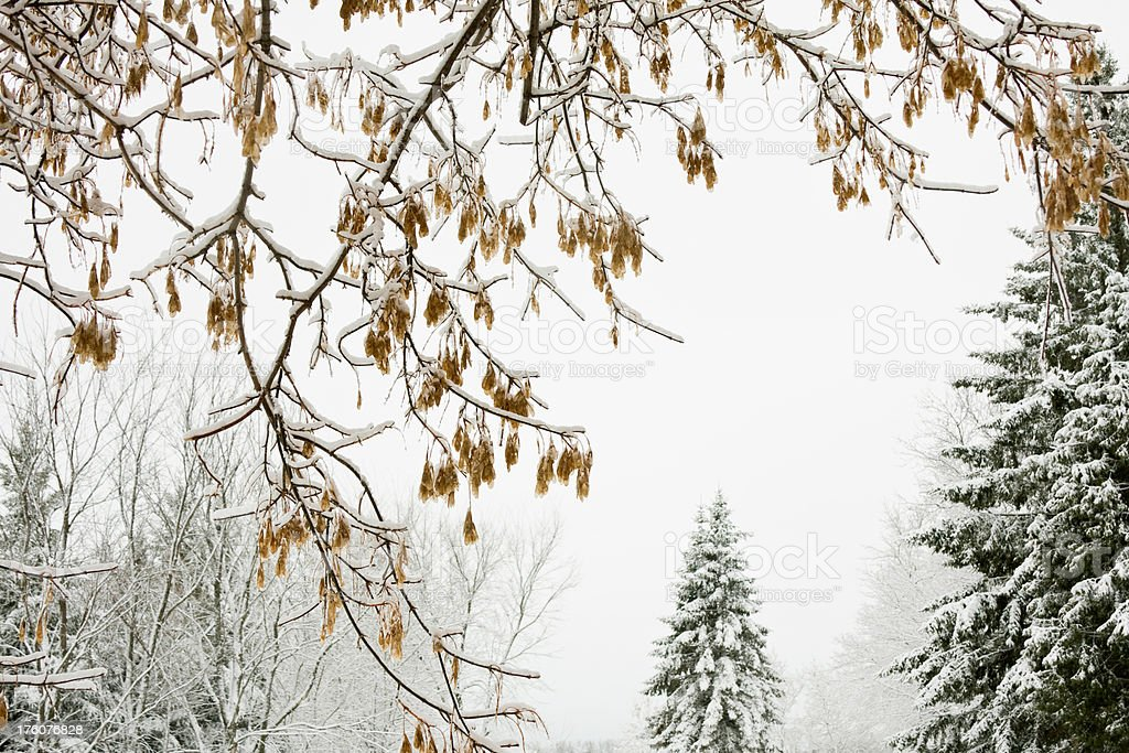 Snow Covered Box Elder Tree Branch with Seeds royalty-free stock photo