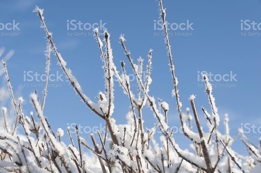 Snow covered branches royalty-free stock photo