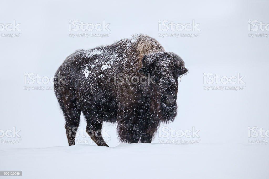Snow Covered Buffalo stock photo