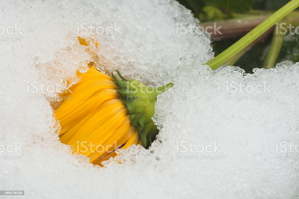 Snow Covered Chrysanthemum stock photo
