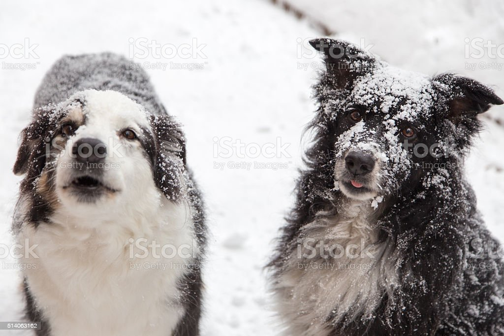 Snow covered dogs stock photo