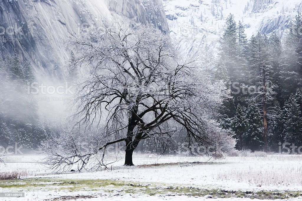 Snow Covered Elm Tree in Mountain Valley stock photo