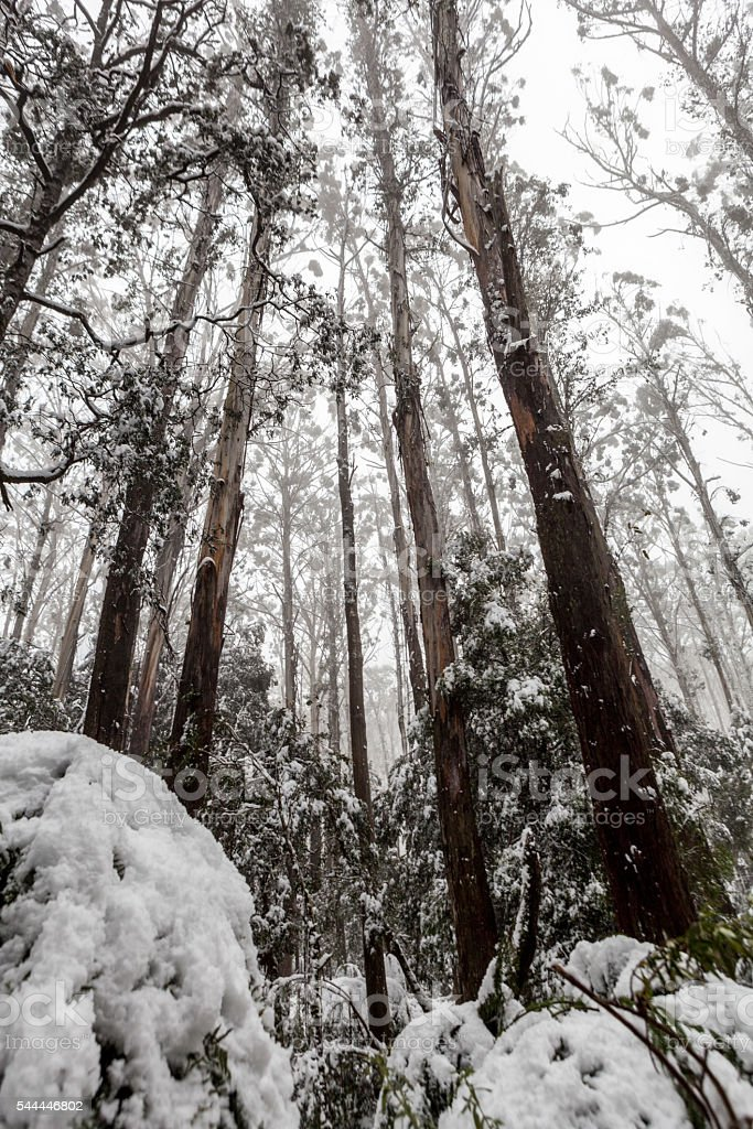 Snow covered eucalyptus trees and ferns in Australia stock photo