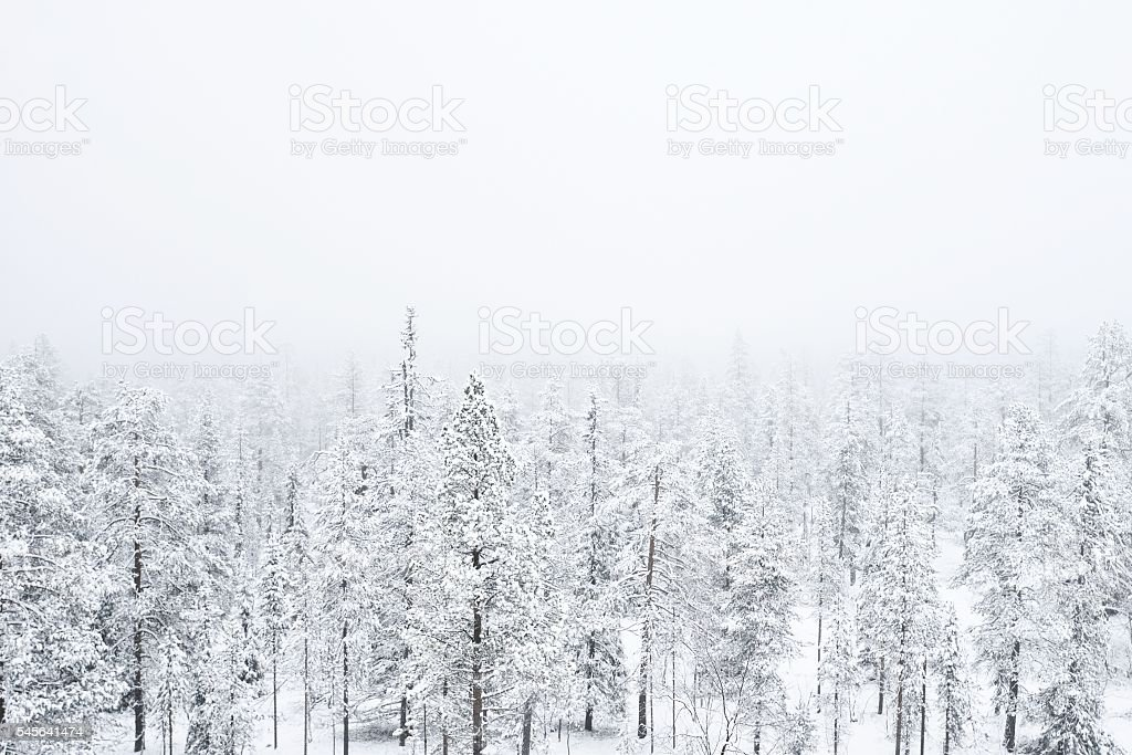 Snow covered forest in heavy fog stock photo