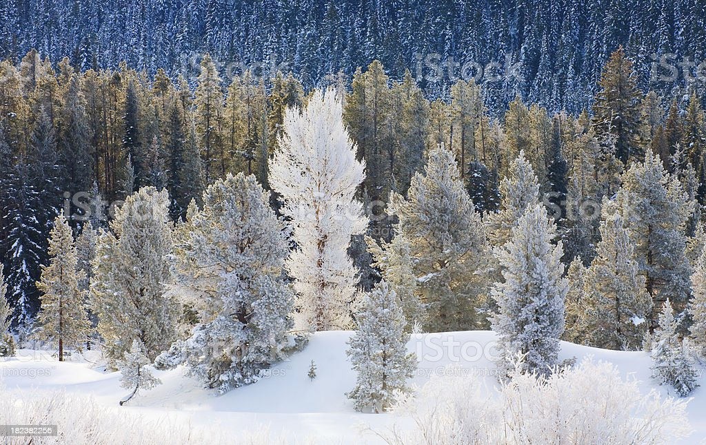 Snow Covered Forest in Winter royalty-free stock photo