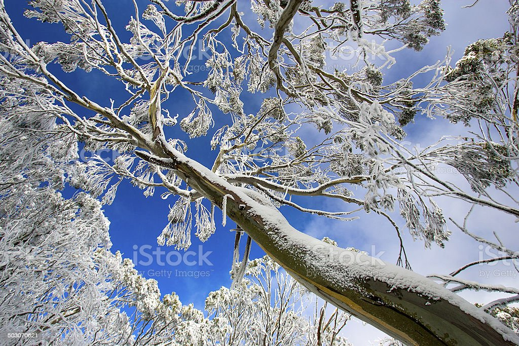 Snow Covered Gum Tree, Victoria, Australia stock photo