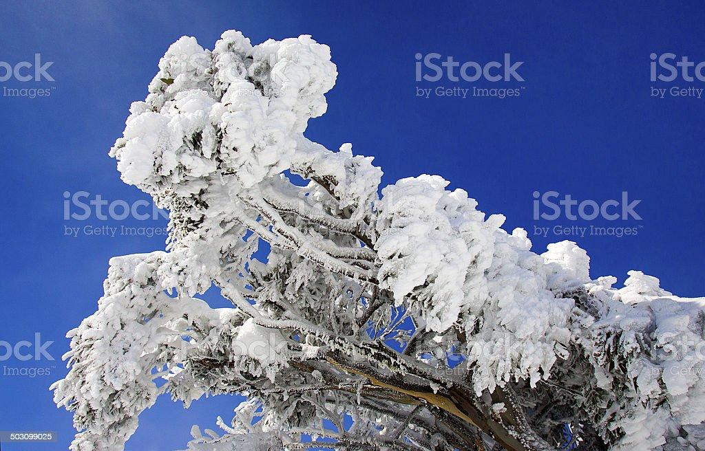 Snow Covered Gum Tree, Victoria, Australia royalty-free stock photo