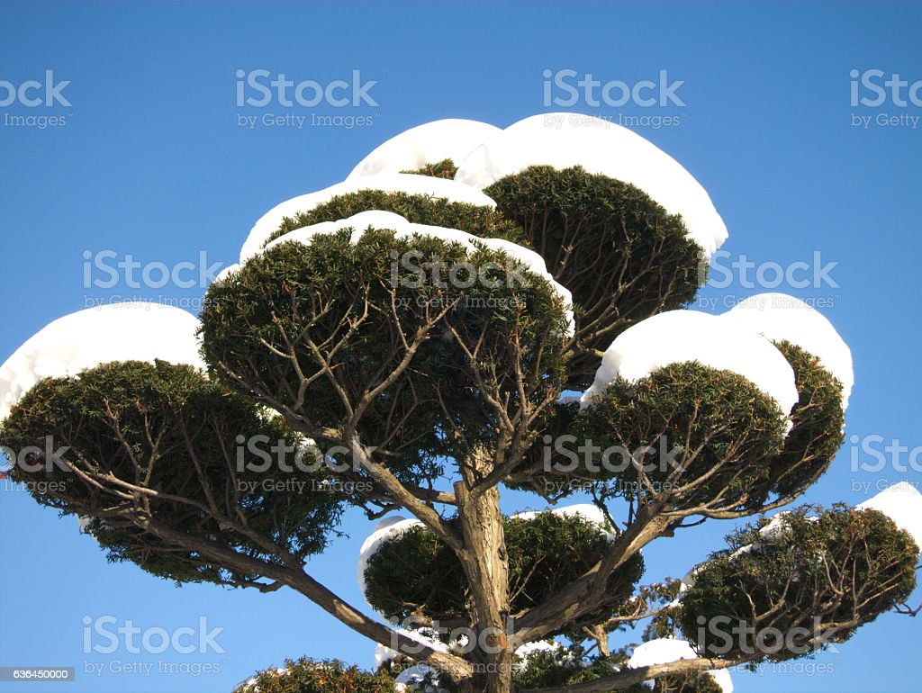Snow covered Japanese tree stock photo