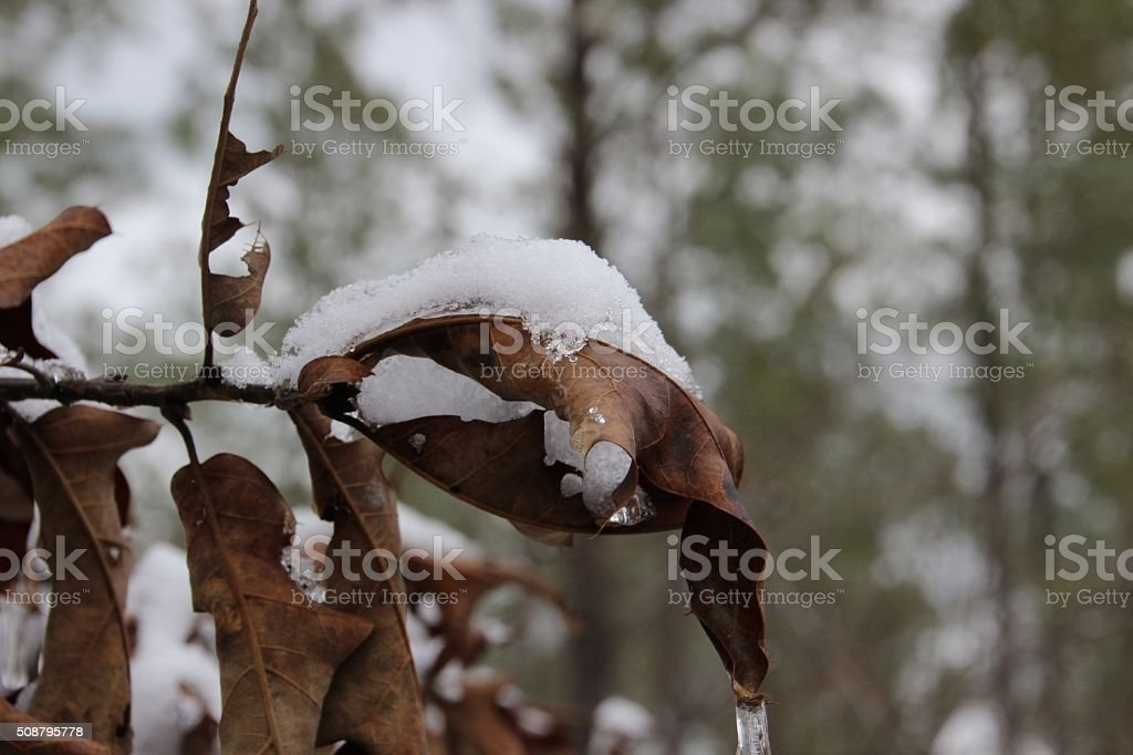 Snow Covered Leaves royalty-free stock photo