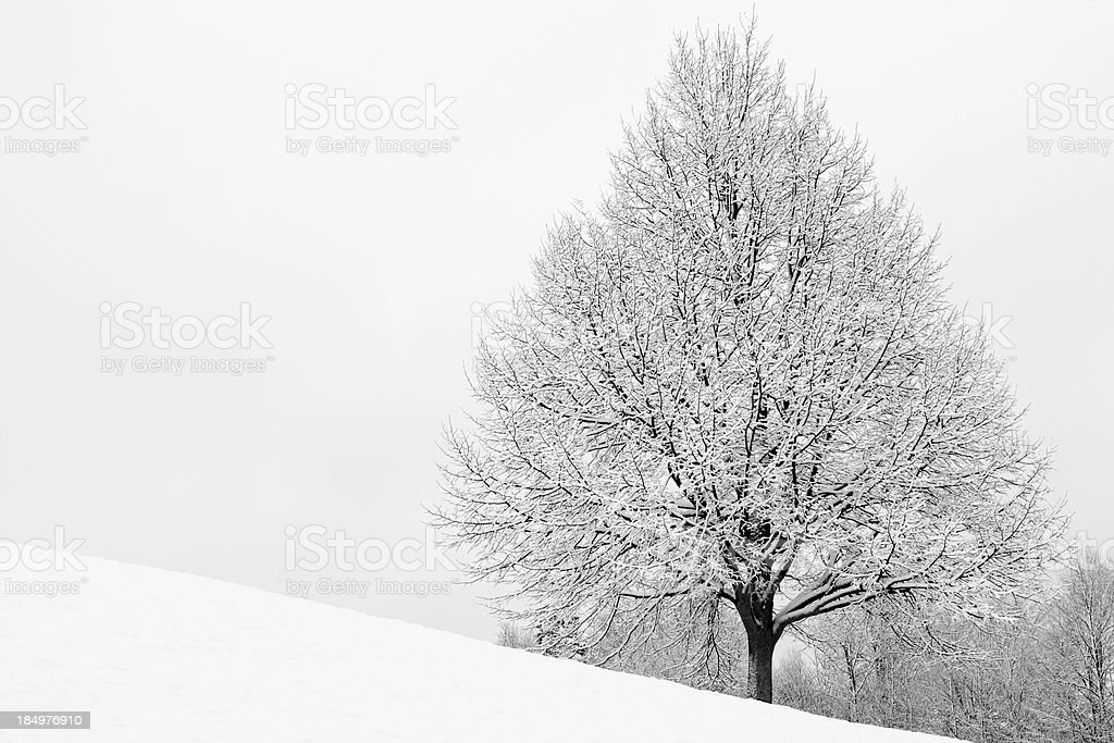 Snow Covered Maple royalty-free stock photo