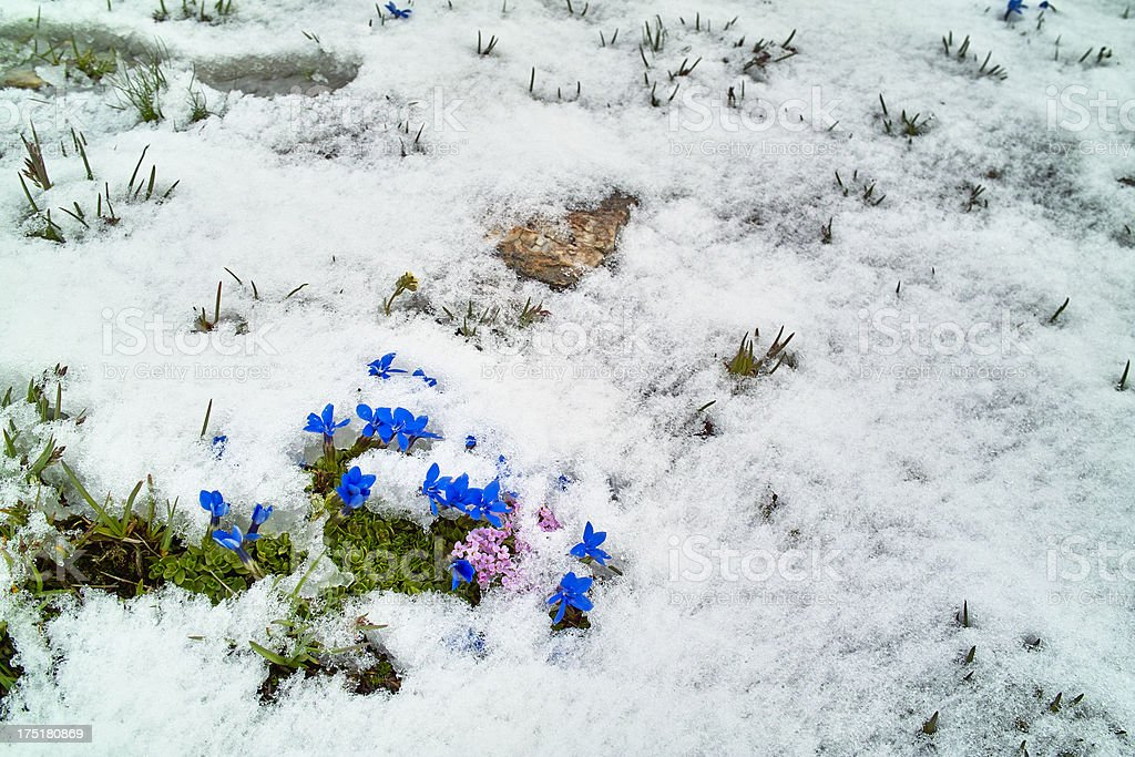 snow covered meadow with gentian flowers stock photo