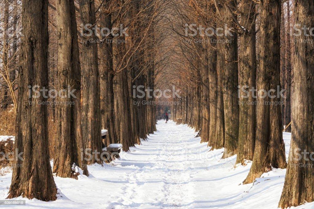snow covered metasequoia road stock photo