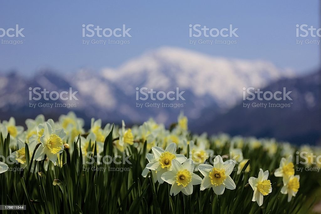 Snow covered mountains and Daffodil royalty-free stock photo