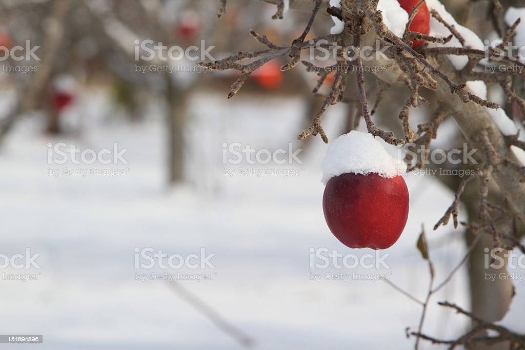 Snow covered on an apple on a tree stock photo
