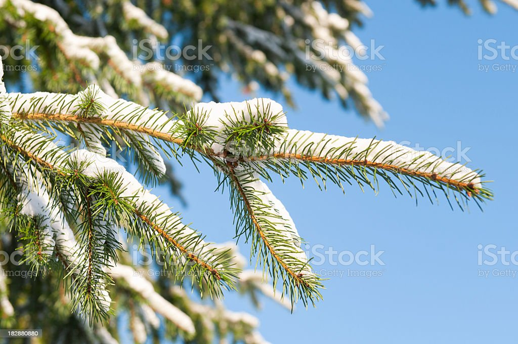Snow Covered Pine Macro stock photo