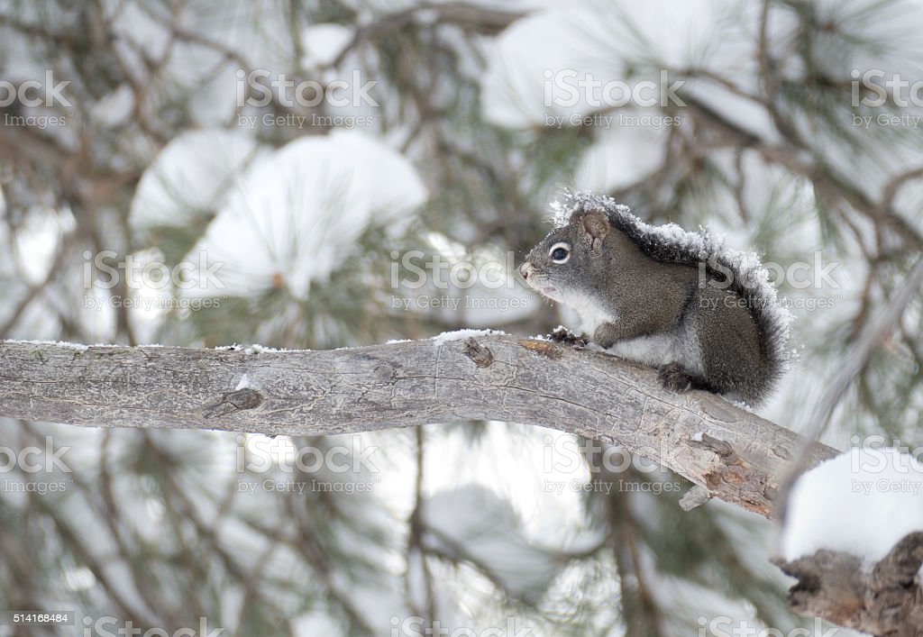 Snow covered pine squirrel Evergreen Colorado winter copy space stock photo