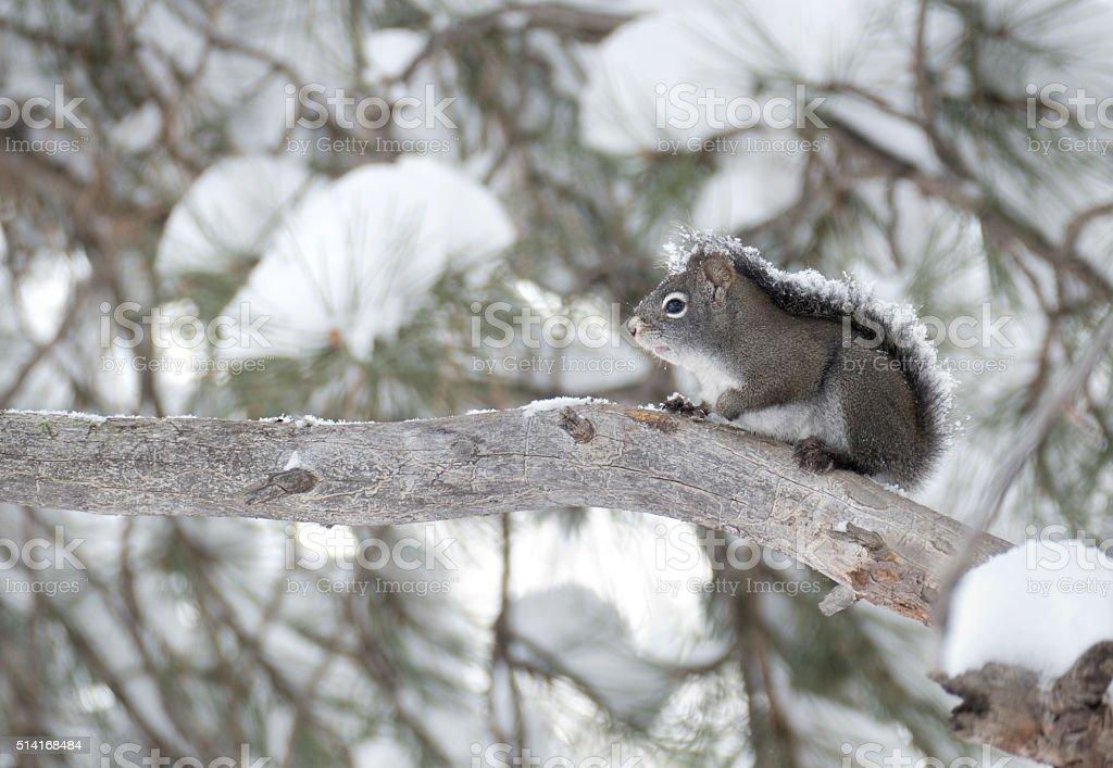 Snow covered pine squirrel Evergreen Colorado winter copy space stock photo