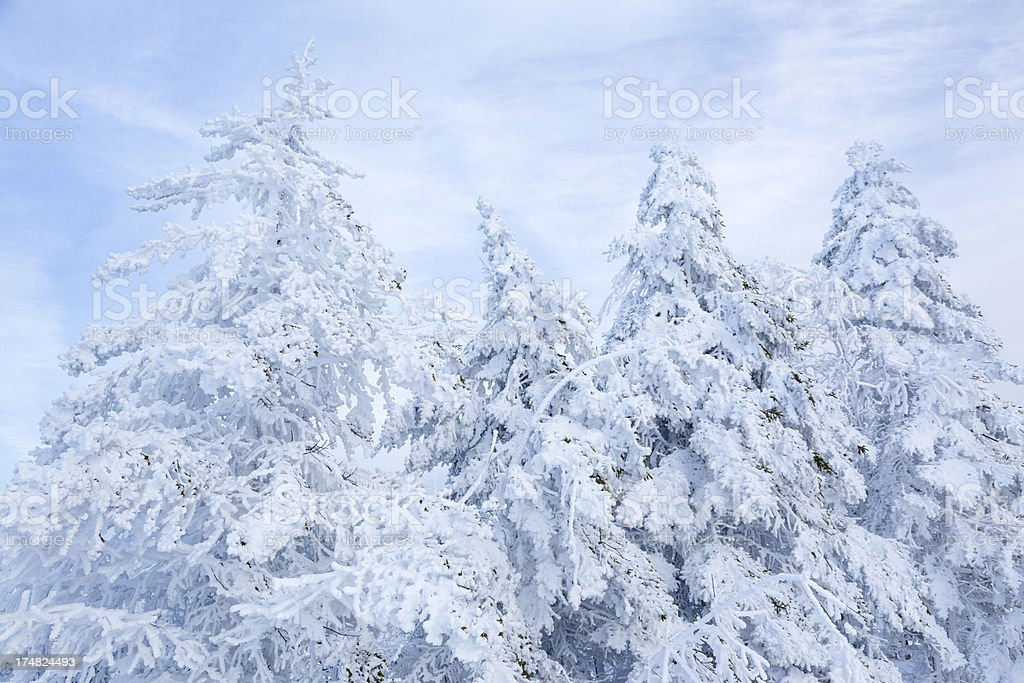 Snow Covered Pine Trees royalty-free stock photo
