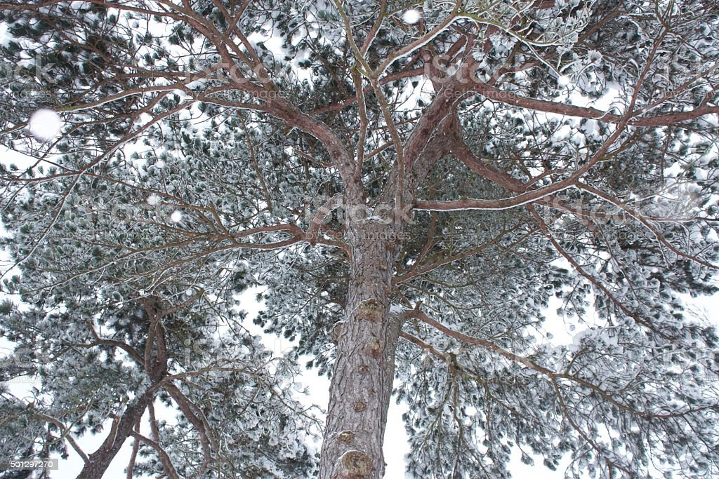 Snow Covered Pine Trees stock photo
