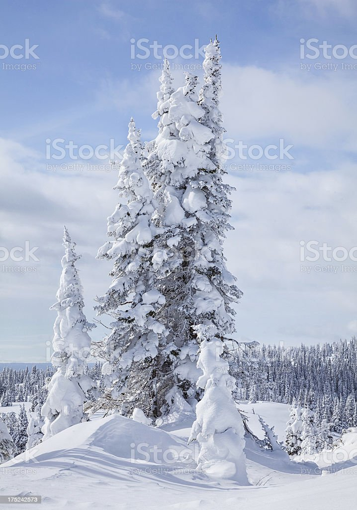 Snow Covered Pines royalty-free stock photo