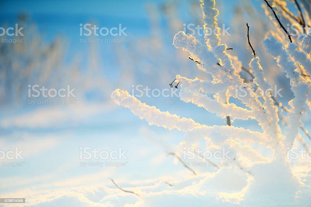 Snow covered rose bush stock photo