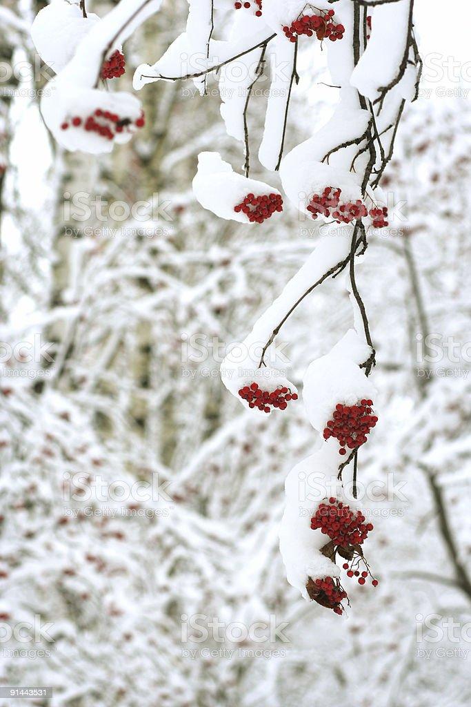 snow covered rowanberry stock photo