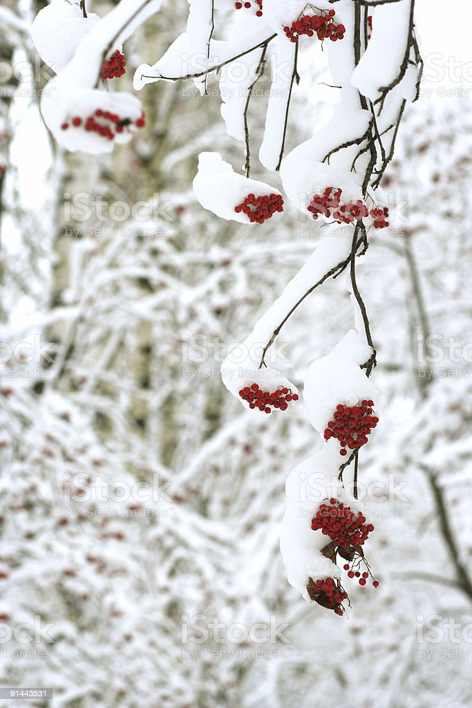 snow covered rowanberry stock photo