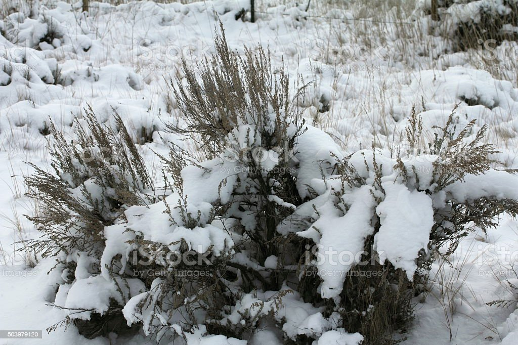 Snow covered sage brush stock photo