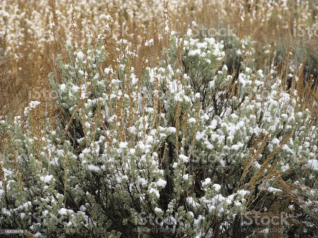 Snow Covered Sagebrush Field royalty-free stock photo
