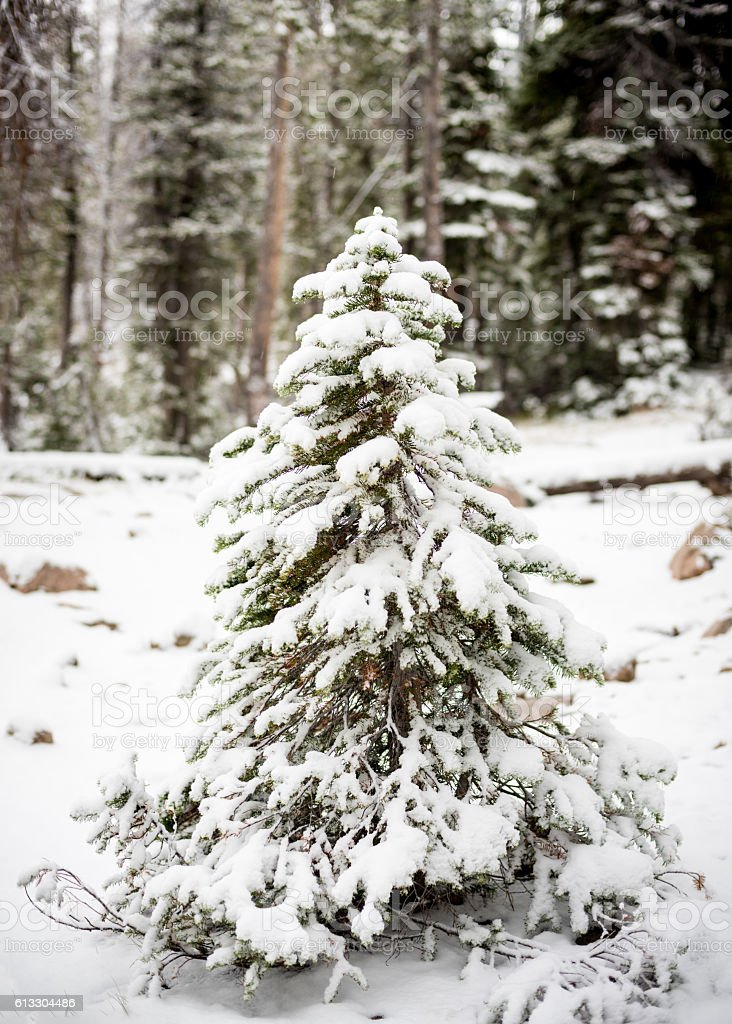Snow covered small tree in the forest stock photo