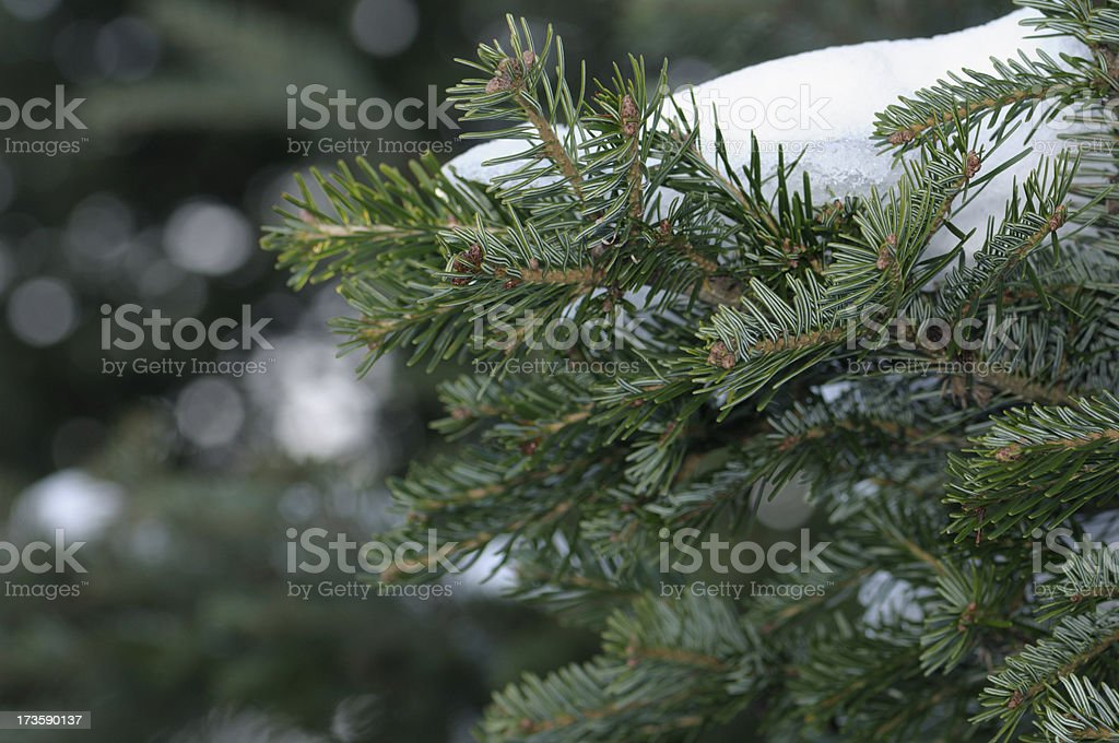 Snow Covered Spruce Branches stock photo