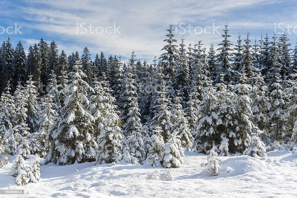 Snow covered spruce trees royalty-free stock photo