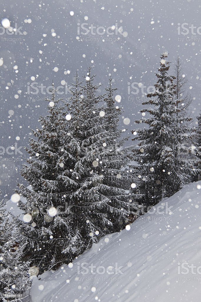 Snow covered spruces in Swiss alps (bad weather), snowing royalty-free stock photo