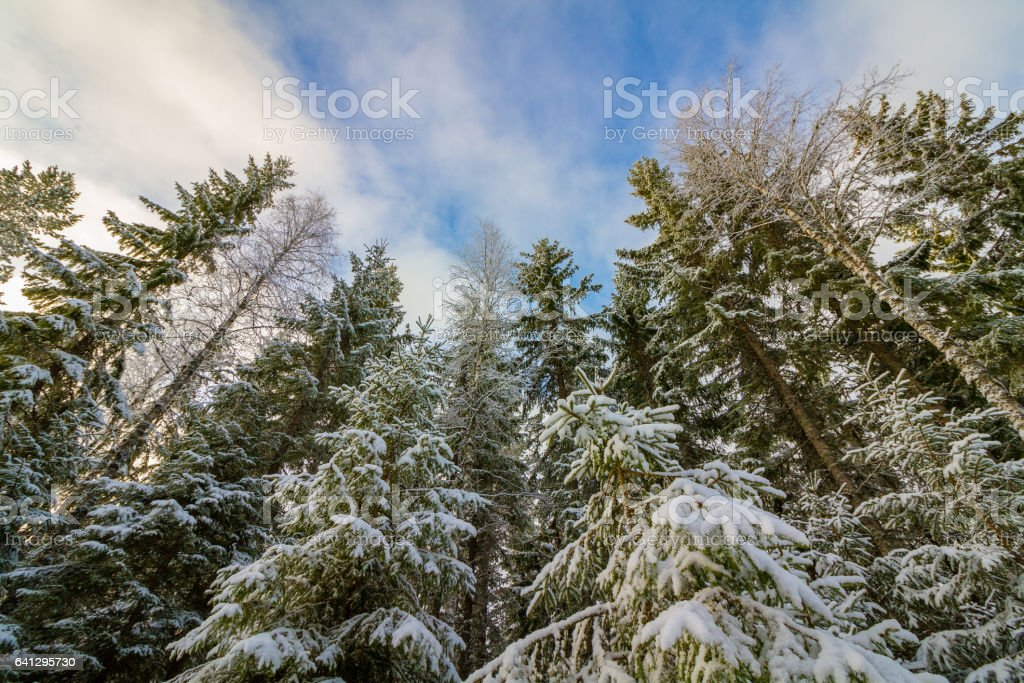 Snow covered spurce forest Norway stock photo